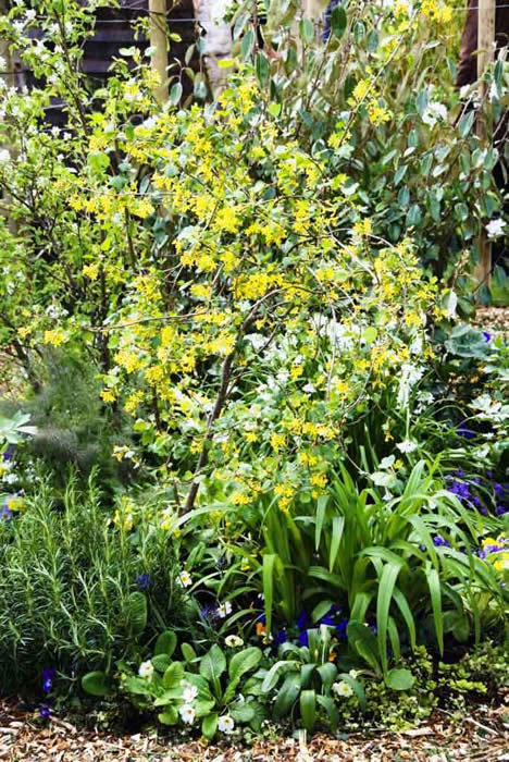 Golden or buffalo currant give a fantastic display of bright yellow flowers in April. It is set amongst the surrounding edible plants: day lily, hemerocallis, rosemary, rosmarinus officinalis, cowslips, primulis vulgaris and pansies. The background edible shrubs are amelanchier and elaeagnus.
